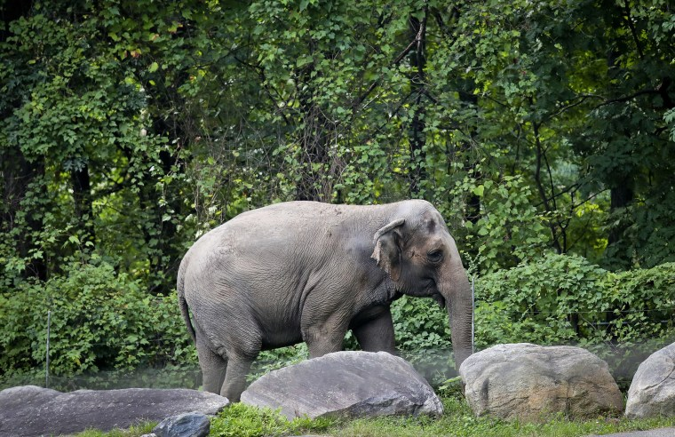 "Image: Bronx Zoo elephant \""Happy\"" strolls inside the zoo's Asia Habitat in New York."