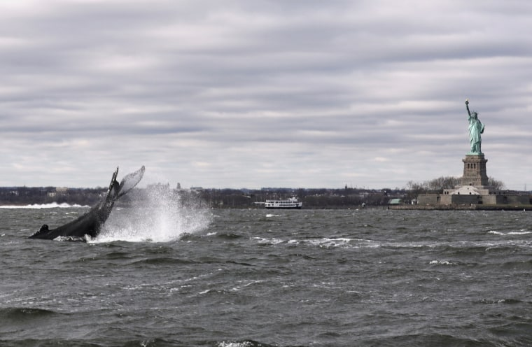 Humpback whale in New York Harbor ready for closeup at Statue of Liberty