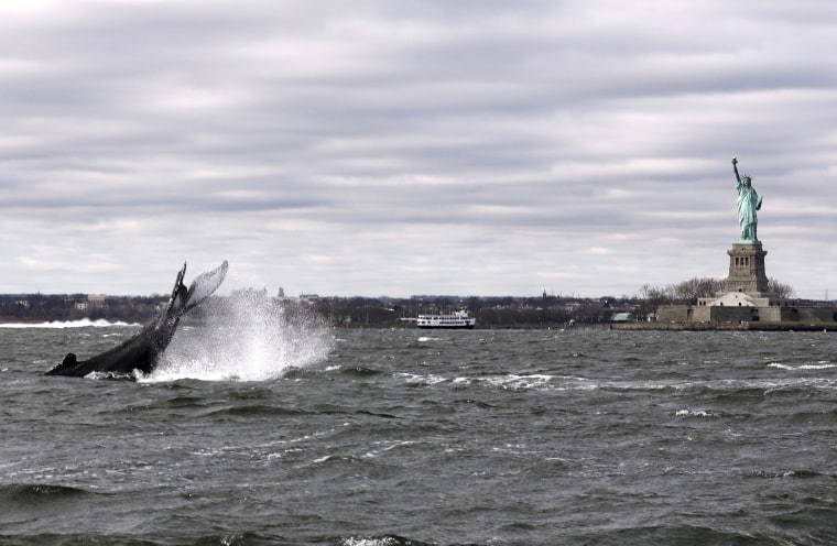 Image: Humpback whale in New York Harbor ready for closeup at Statue of Liberty