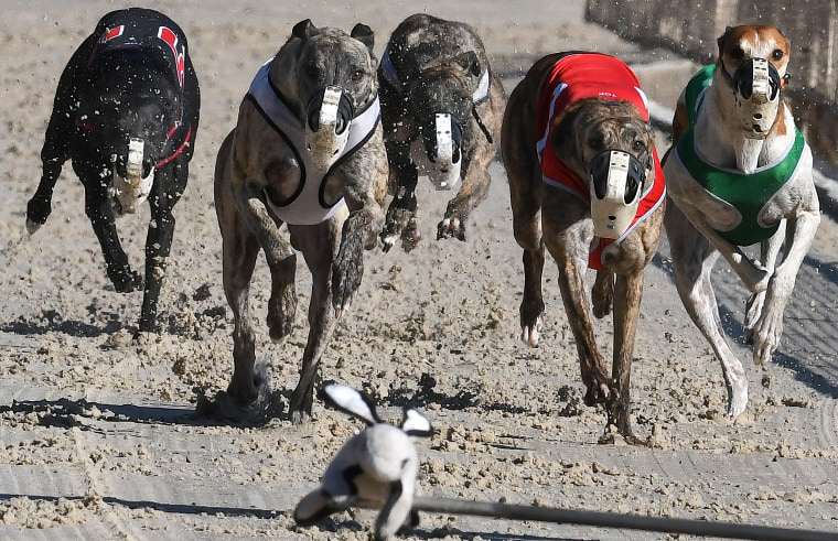 Image: Dogs chase a mechanical lure during the final program of
