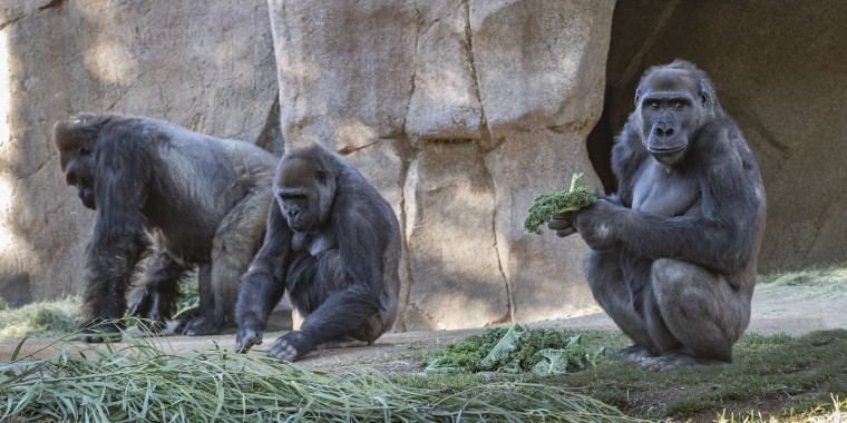 Members of the gorilla troop at the San Diego Zoo Safari Park in Escondido, California, are seen in their habitat on Sunday, Jan. 10, 2021.