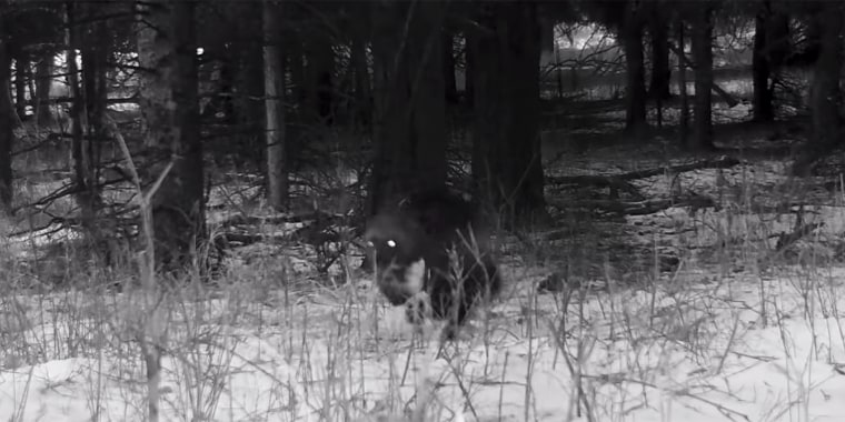 The mid-sized mammal was spotted on camera running through a forested area of Yellowstone National Park in December.