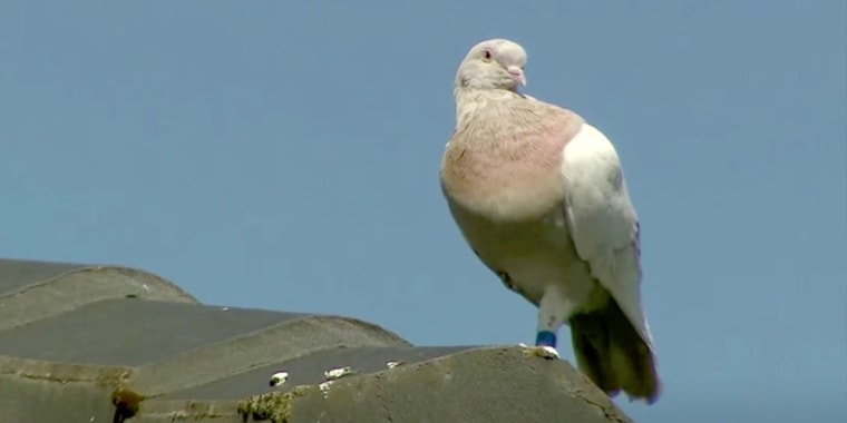 """""""Joe,"""" a pigeon that was thought to have reached Australia from the U.S., perches on a roof on Friday."""