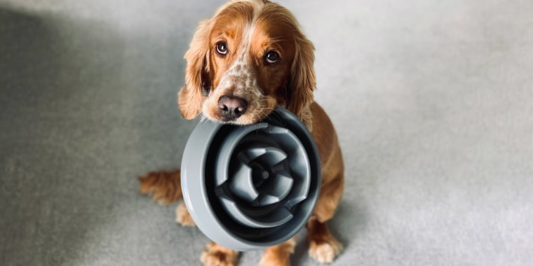 Little dog holding his food bowl in his mouth, waiting for food