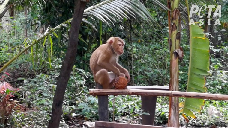 Following appeals from PETA and two PETA Asia undercover investigations into the use of captive monkeys, who are kept chained and caged, in Thailand's coconut-picking industry, Target has ended its sale of coconut milk from major producer Chaokoh.