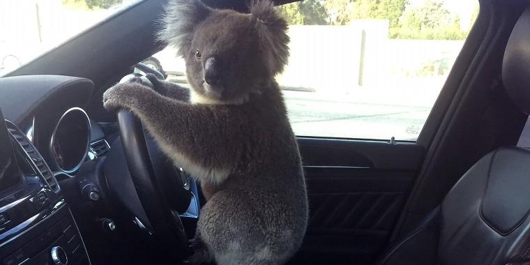 driving koala