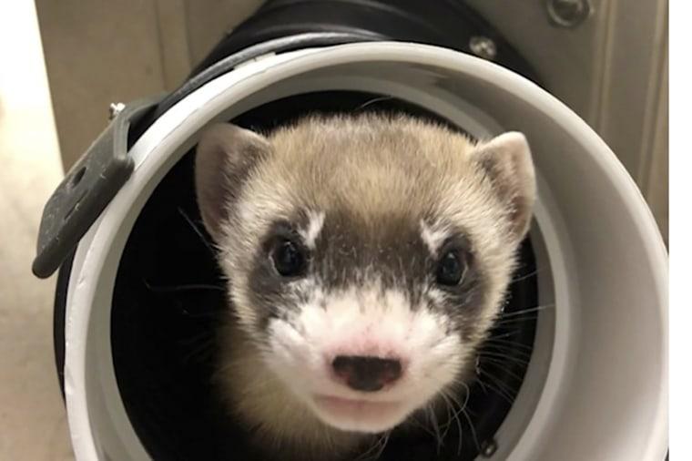 Image: Cloned ferret