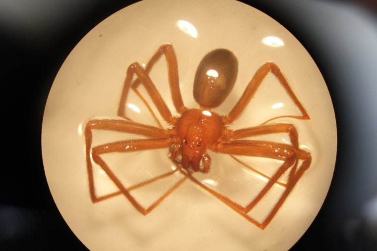 A Mediterranean recluse spider embalmed in water during the