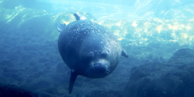 Sidney, a harbor seal