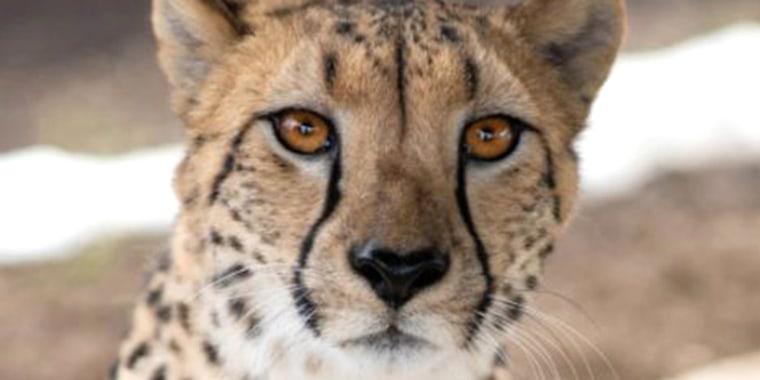 Isabelle, a 4-year-old cheetah at Columbus Zoo and Aquarium.