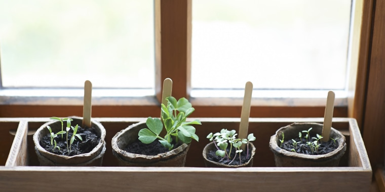 A mixture of young seedlings growing in window sill box with plastic free compostable pots.