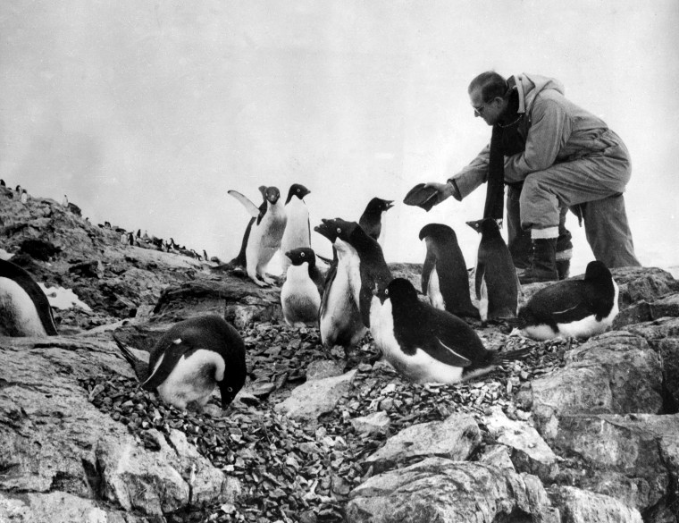 Prince Phillip, the Duke of Edinburgh feeds a colony of penguins during a visit to the Antarctic on Feb. 8, 1957.