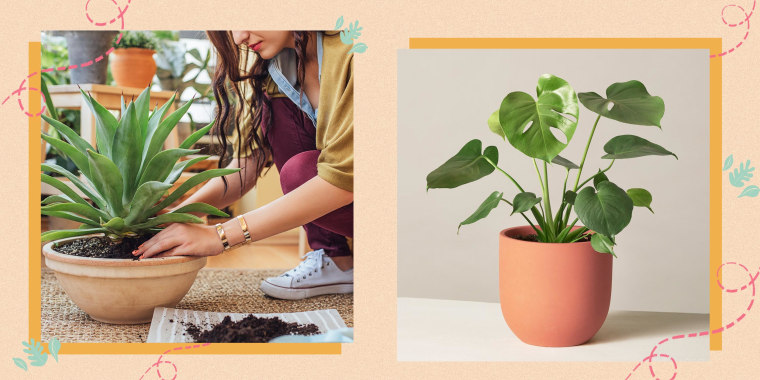 Illustration of a Woman planting a potted plant and the Monstera Deliciosa in a planter