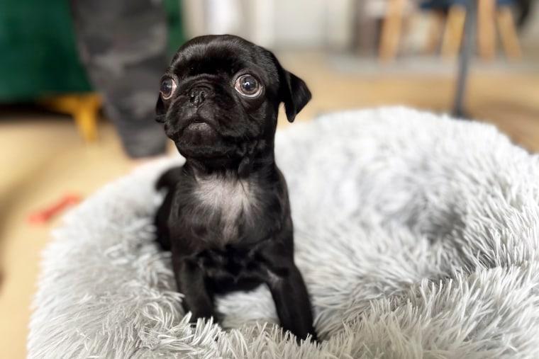 Frankie is a 9 week old pug.