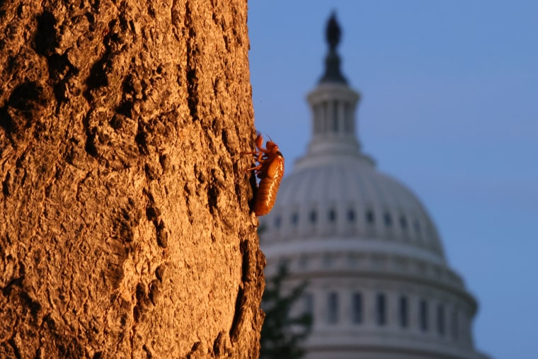 A periodical cicada nymph climbs a tree after crawling out of the ground at the U.S. Capitol on May 20, 2021 in Washington, DC.  The Brood X cicadas are emerging by the billions in the eastern United States and some Midwestern states after living underground and feeding off of tree roots for 17 years.