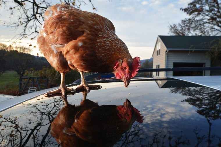 A domestic chicken pecks for food scraps on a car parked outside a home near Roseburg. Ore., on Nov. 16, 2012.