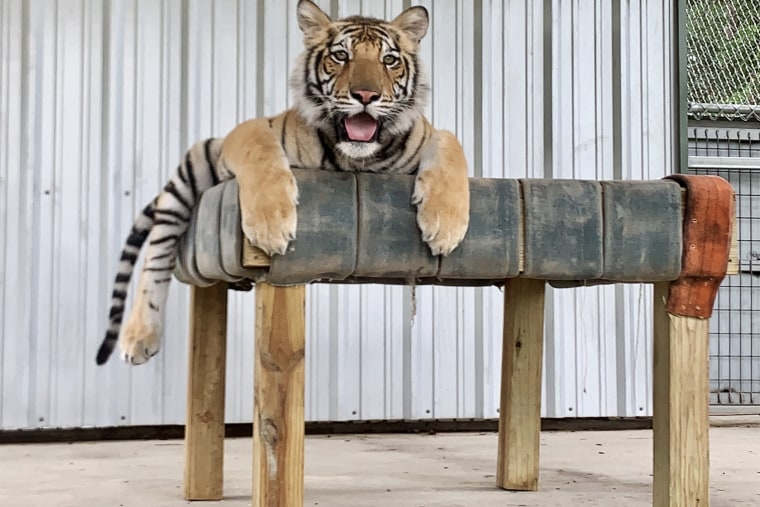 Image:; India the Tiger