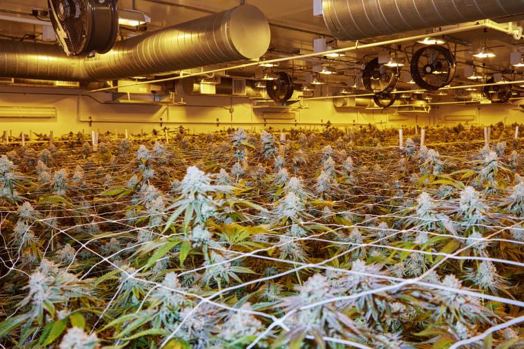 Image: A cannabis grow room