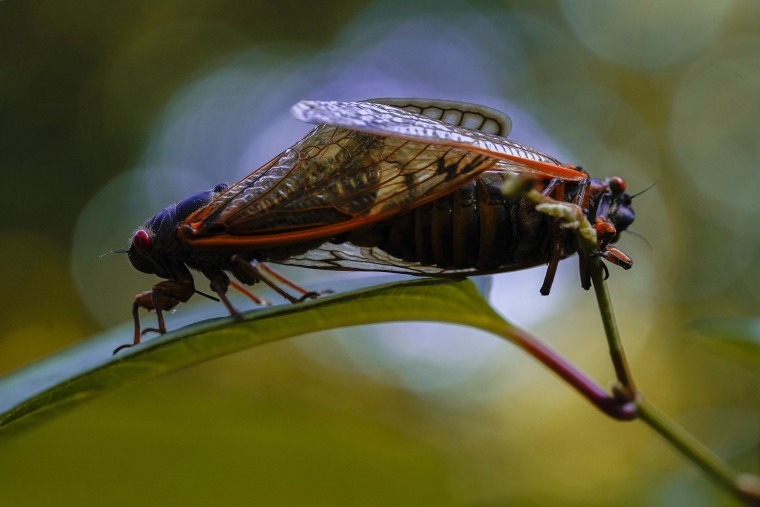 Image: Brood X cicadas mate in Washington