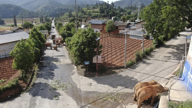 Image: A migrating herd of elephants roam through a neighborhood near the Shuanghe Township, Jinning District of Kunming city in southwestern China's Yunnan Province,