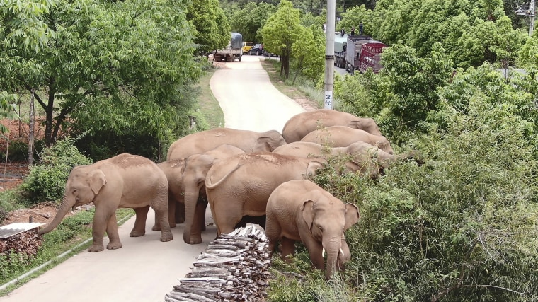 Image: A migrating herd of elephants roam through a neighborhood near the Shuanghe Township, Jinning District of Kunming city in southwestern China's Yunnan Province
