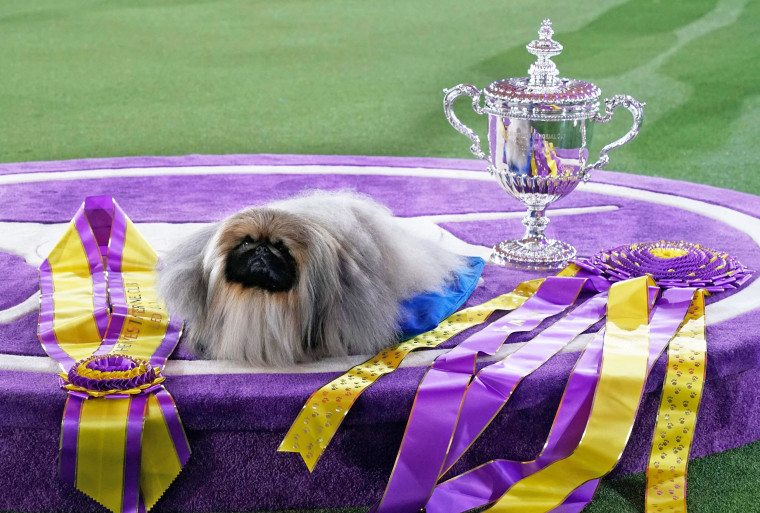 """The Pekingese dog """"Wasabi"""" wins Best in Show at the 145th Annual Westminster Kennel Club Dog Show June 13, 2021, at the Lyndhurst Estate in Tarrytown, N.Y."""