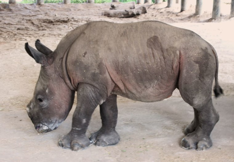 Image: ZooTampa welcomed a baby southern white rhino to the family.