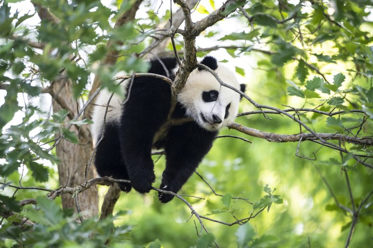 Image: 9-month-old male giant panda cub Xiao Qi Ji climbs in a tree at the Smithsonian National Zoo