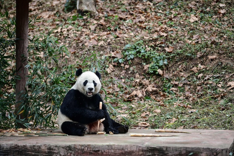 Image: Giant panda Bei Bei eats in its enclosure at the Bifengxia base of the China Conservation and Research Centre of the Giant Panda in Yaan, China's southwestern Sichuan province