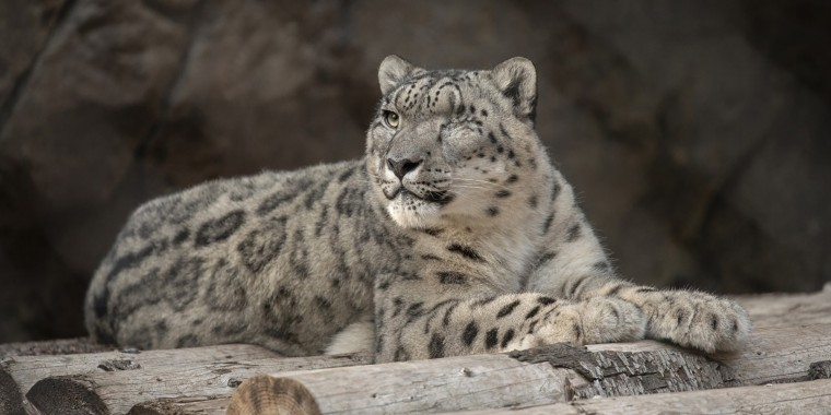 Ramil, a male snow leopard at the San Diego Zoo, shown in 2019, has contracted COVID-19, the zoo said.