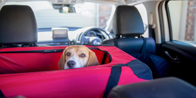 Beagle dog in her crate waiting for the rest of the car to be packed