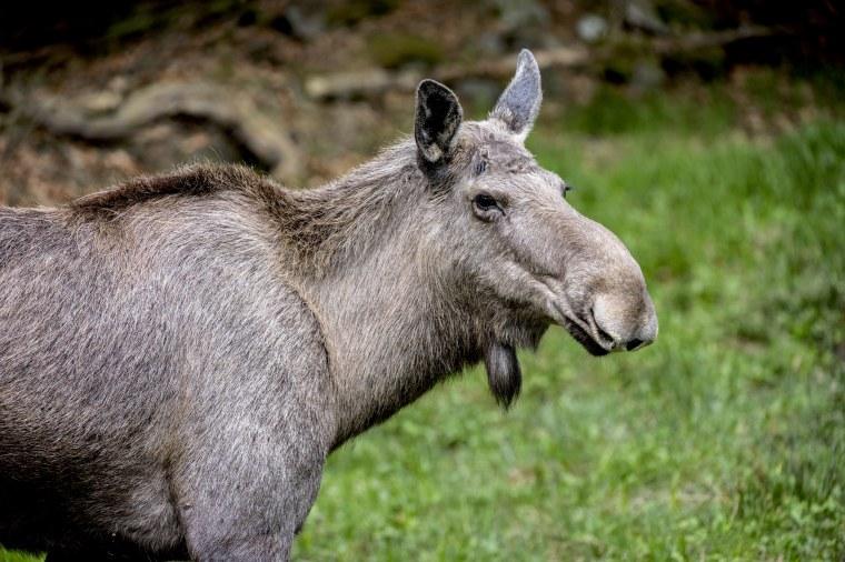 Close up portrait of Moose (Alces alces) female