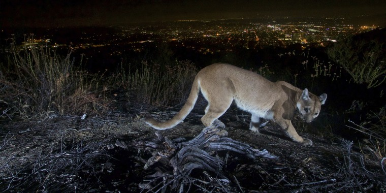 An adult female mountain lion photographed with a motion sensor camera in the Verdugos Mountains in Los Angeles County in 2016. A mountain lion, not pictured, attacked a 5-year-old boy in Southern California was shot and killed by a wildlife officer, authorities said Saturday.