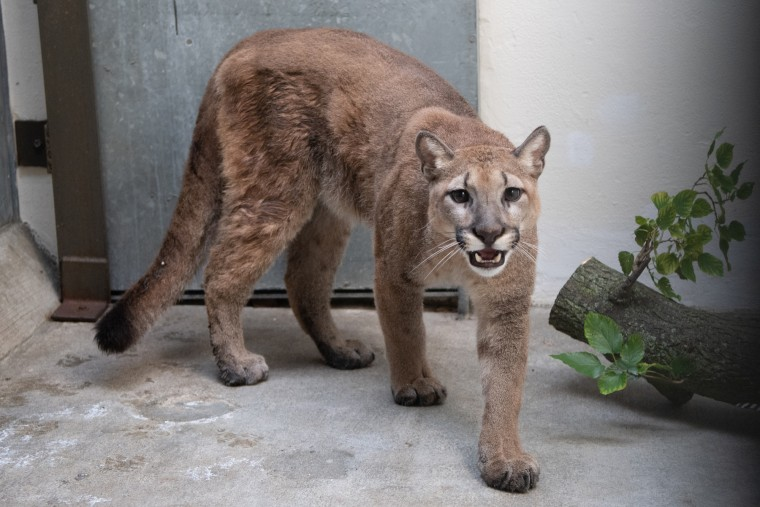 An 11-month-old, approximately 80-pound, female cougar was removed from a New York City home on Aug. 26, 2021.