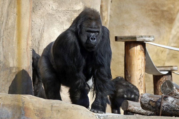 Great apes in Moscow Zoo
