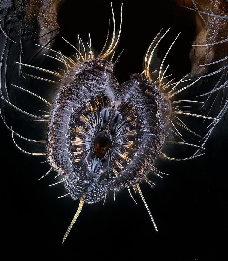 A housefly's proboscis.