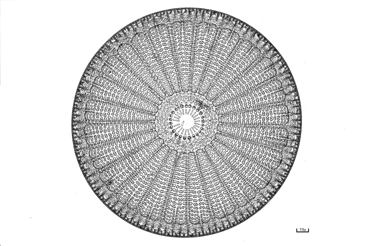 A diatom, a single-celled alga.