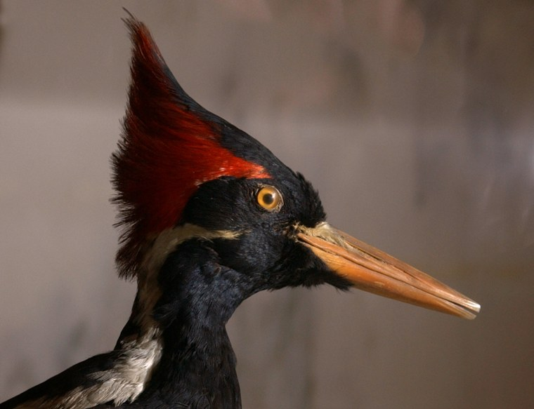 Image: A stuffed male ivory-billed woodpecker on display on May 2, 2005, in the main lobby at the New York State Museum in Albany, N.Y.
