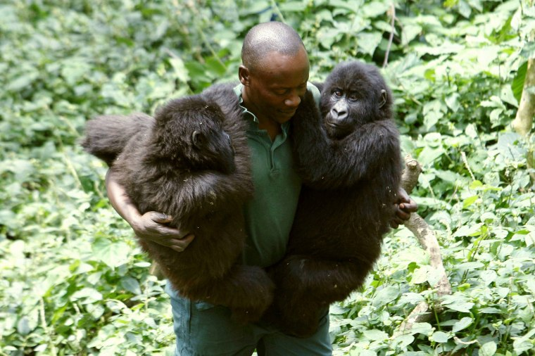 A park ranger carries orphaned female mountain gorillas Ndeze and Ndakasi at a protected location at Rumungabo in Virunga National Park just north of the eastern Congolese city of Goma