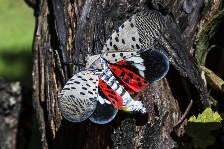 A spotted lanternfly at a vineyard in Kutztown, Pa., on Sept. 19, 2019.
