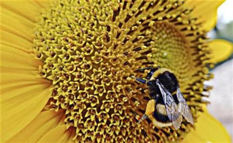 A bumblebee gathers pollen from a sunflower in Sumartin on Croatia's Adriatic Island of Brac
