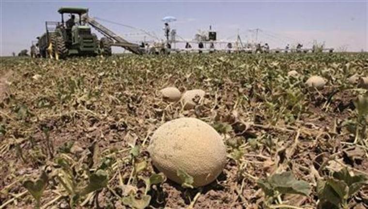 Farm workers harvest cantaloupe in Somerton, Arizona, June 7, 2006.