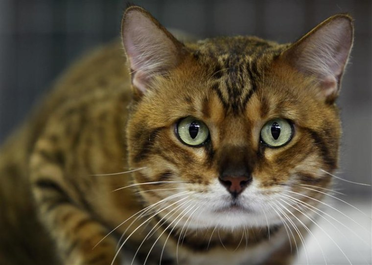 Chester, who won the most popular cat prize, looks on during a regional cat exhibition in Havana
