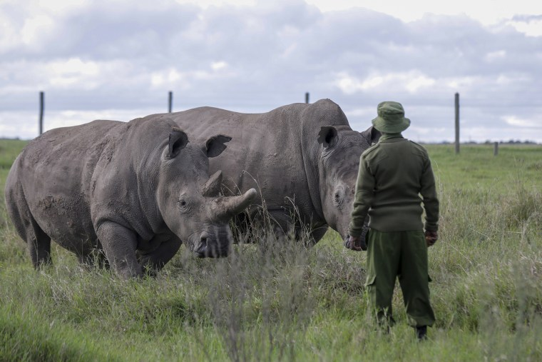A ranger observes the last remaining two northern white rhinos Fatu, left, and Najin, right, at the Ol Pejeta conservancy in Kenya, on May 1, 2020.