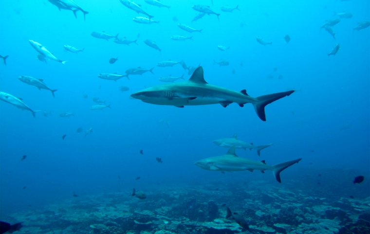 Image: Gray reef sharks, the subject of a study on social behavior among sharks, are seen in the Pacific Ocean around the Palmyra Atoll