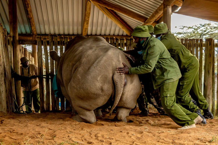Image: Scientists hope to revive near-extinct northern white rhino in Kenya