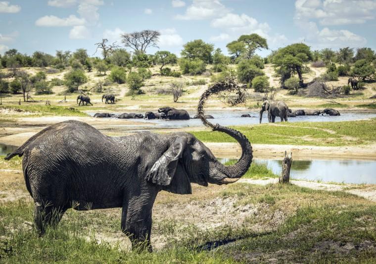 Image: Male African elephants