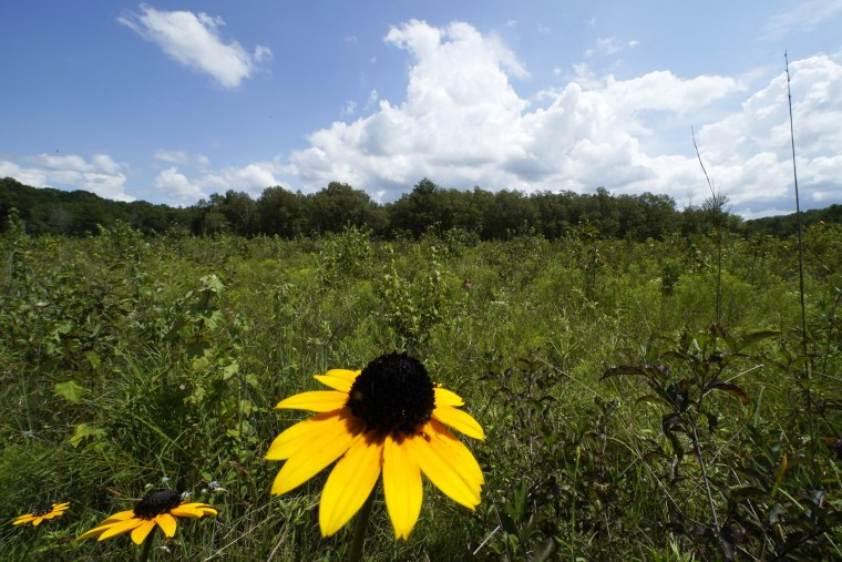 Image: A black-eyed Susan flower grows among a variety of plants in an open grassland area at the May Prairie State Natural Area on Aug. 20, 2020, in Manchester, Tenn.