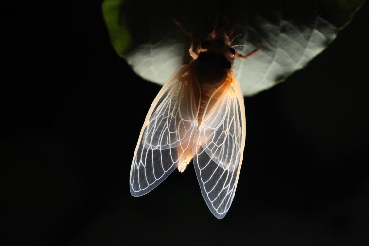 Image: An adult cicada emerges from its skin at night in Fairfax Station, Va., on May 17, 2013.