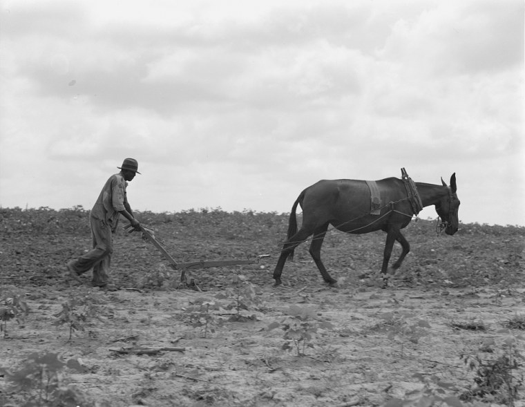 The cotton sharecropper's unit is one mule and the land he can cultivate with a one-horse plow, in Greene County, Ga., July 1937.